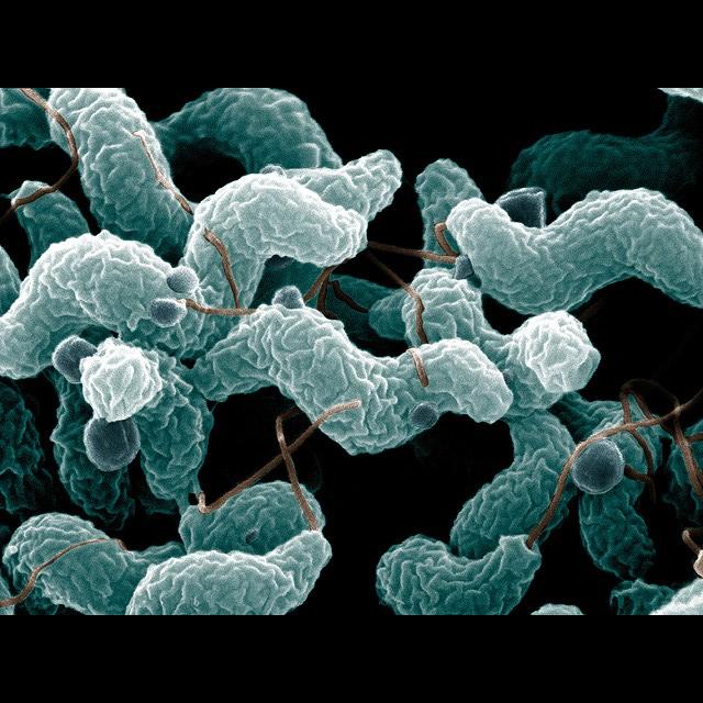 Campylobacter 2021