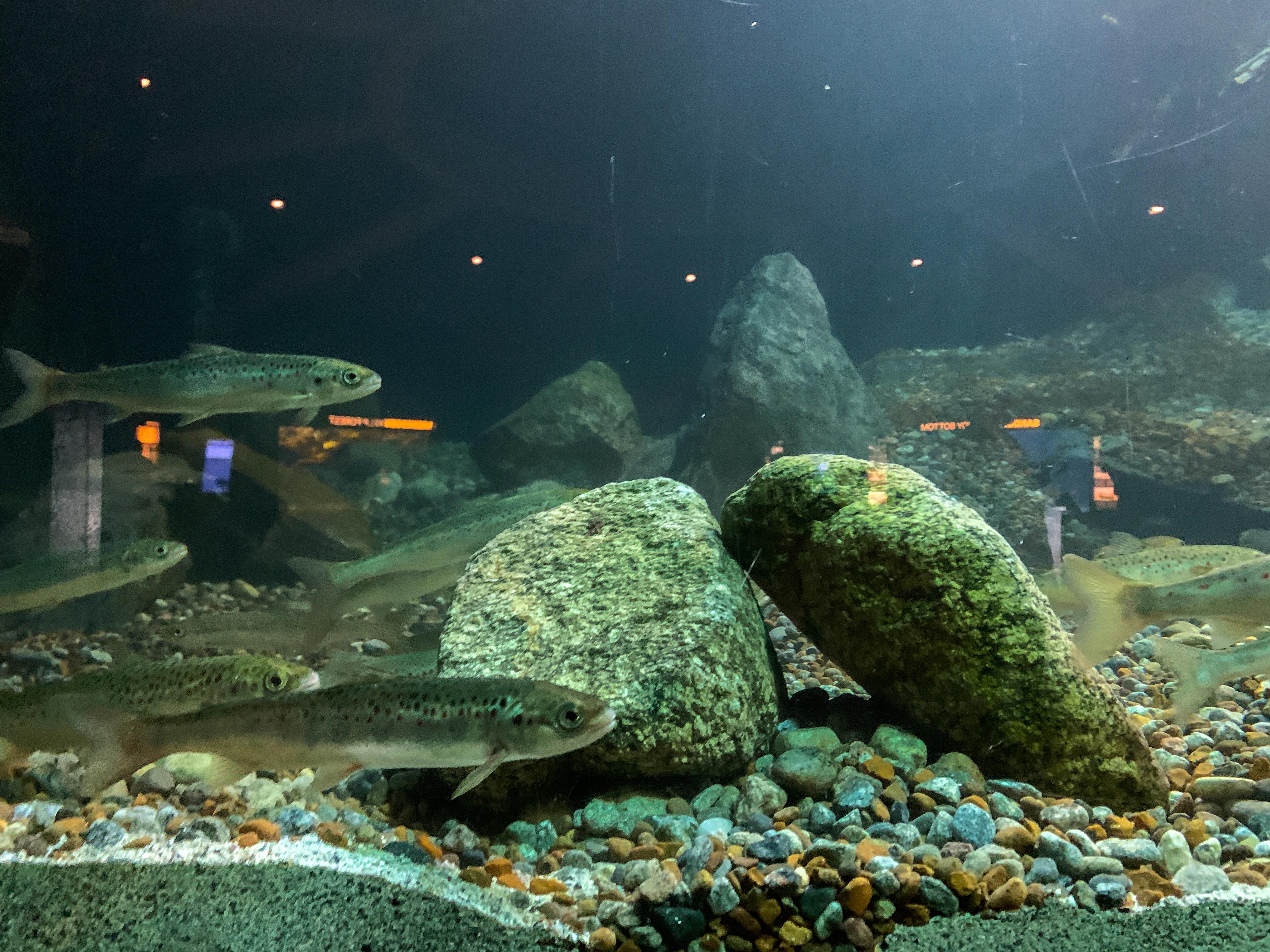 Fisk svømmer mot stein
