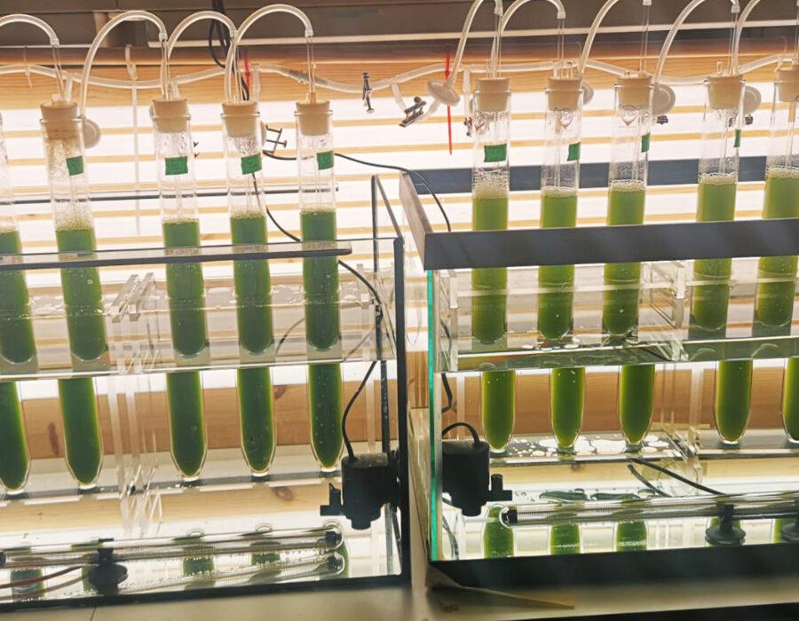 Mikroalger dyrking