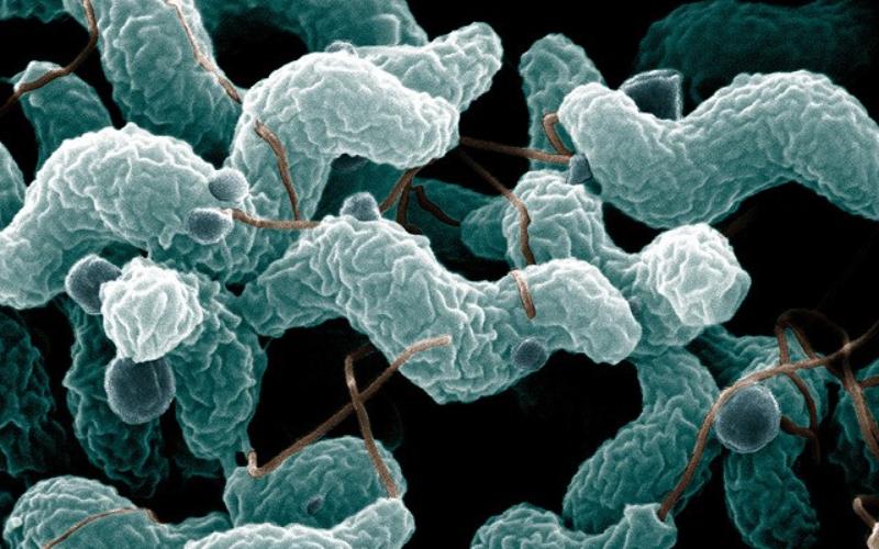 Mikroskopi av Campylobacter-bakterien.   Photo by De Wood; digital colorization by Chris Pooley. Link