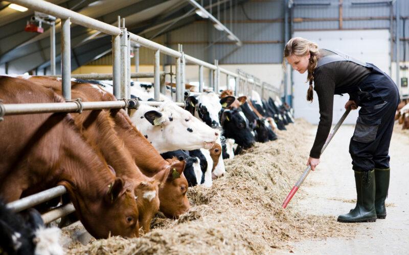 Kuer storfe biogass fosfor illustrasjonsfoto