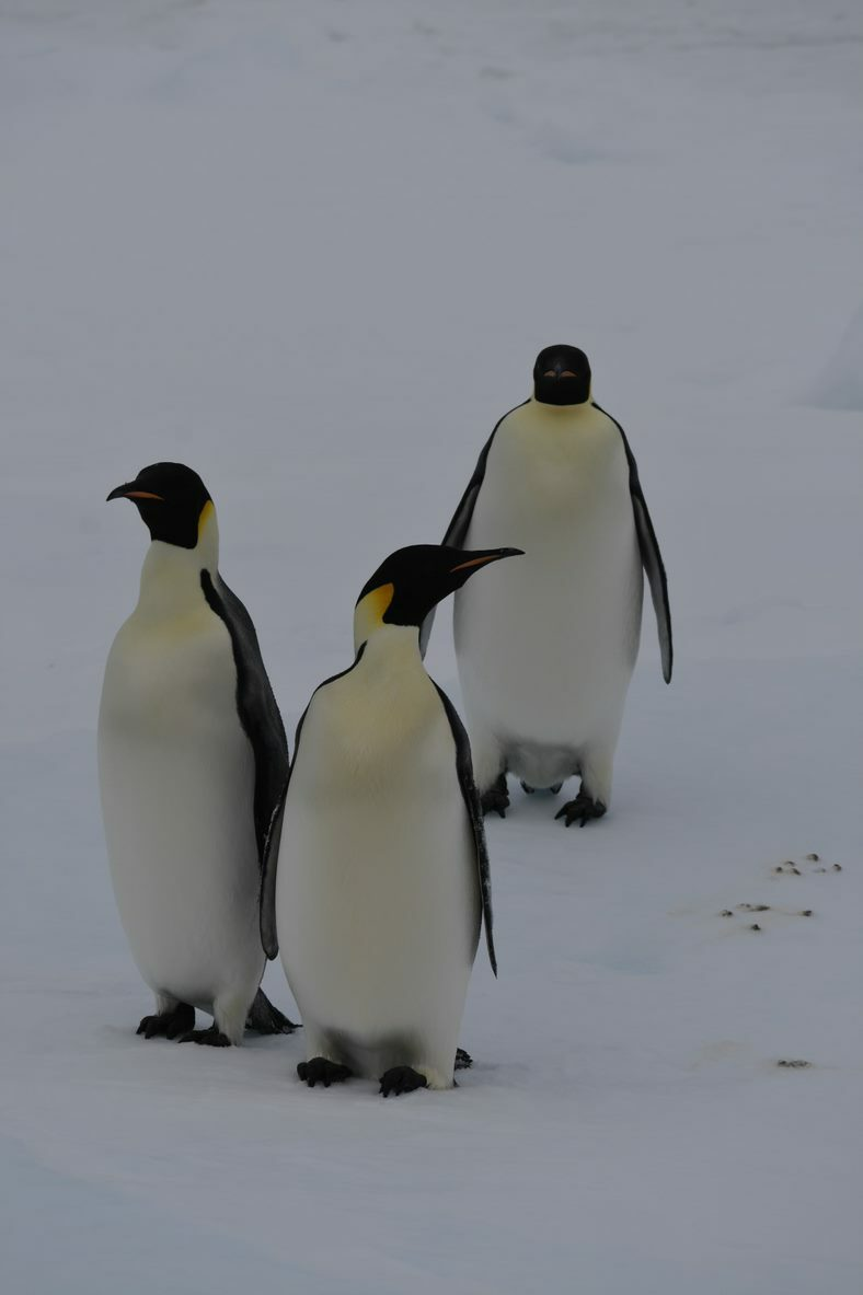 Pingvinsydpol 2021 svein